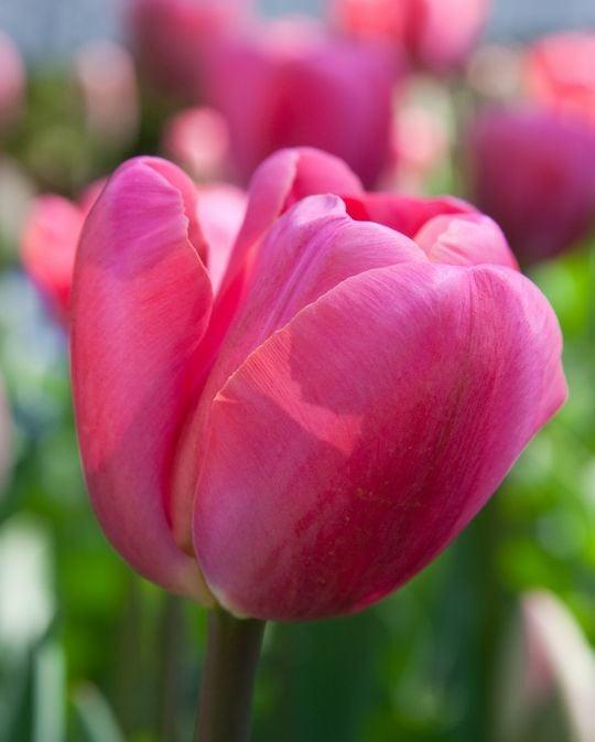 Tulip Carola