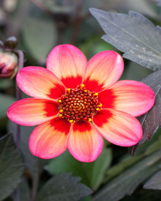 Dahlia Dahlegria Tricolour