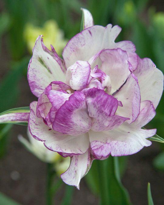 Tulip Double Shirley