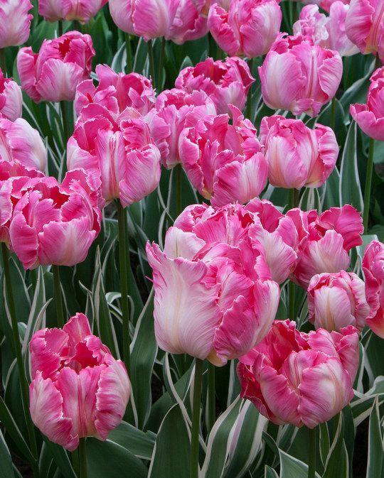 Tulip Elsenburg