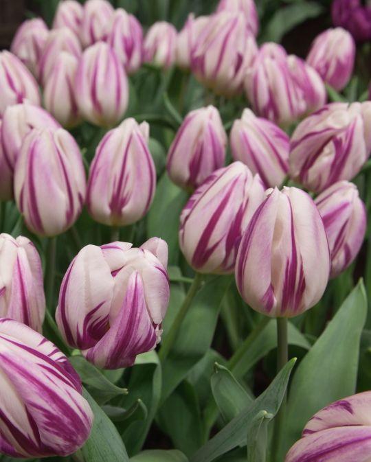 Tulip Flaming Flag
