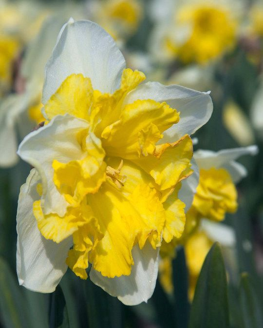 Narcissus Frileuse