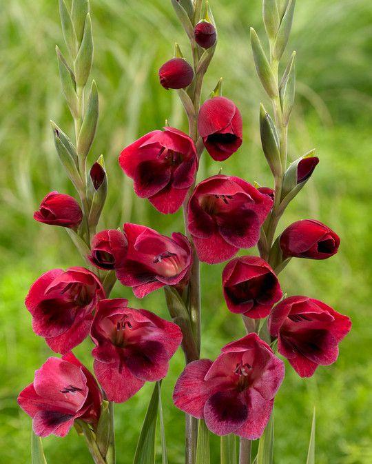 Gladiolus Ruby (Papillio)