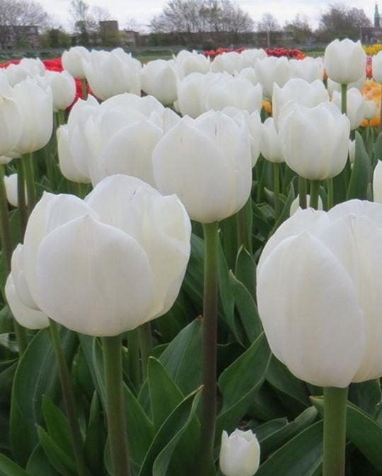 Tulip White Flag
