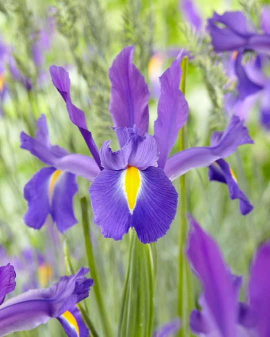Iris Discovery