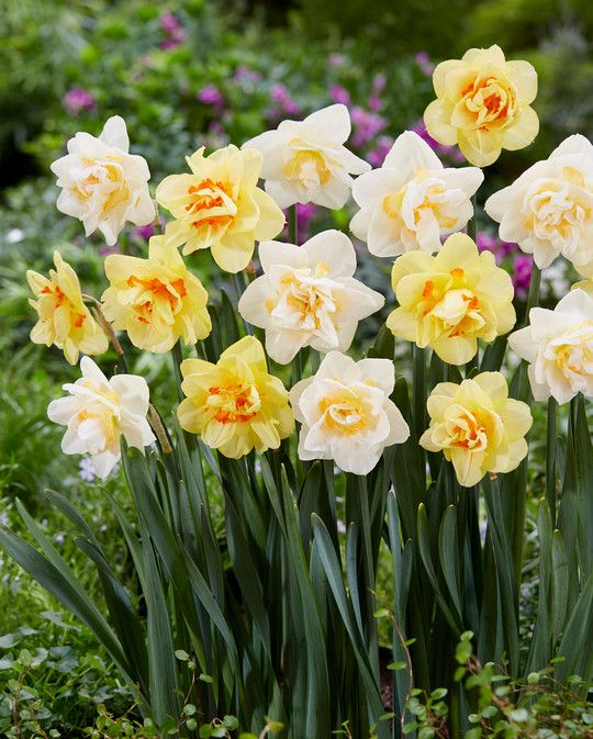 Double Narcissus Mixed