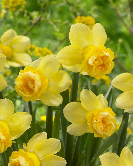 Narcissus Milena