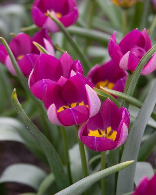 Tulip Humilus Persian Pearl