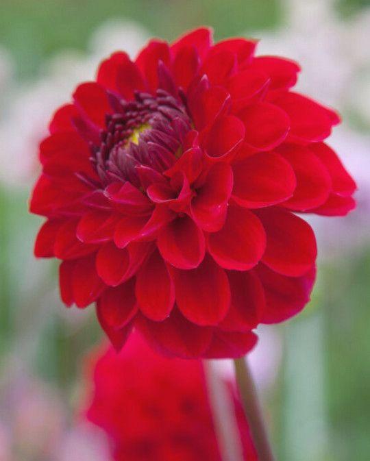 Dahlia Red Jill