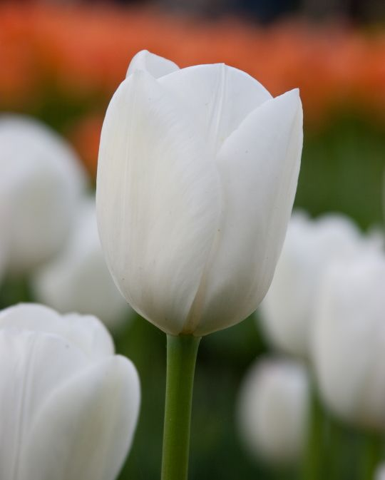Tulip Royal Virgin close up