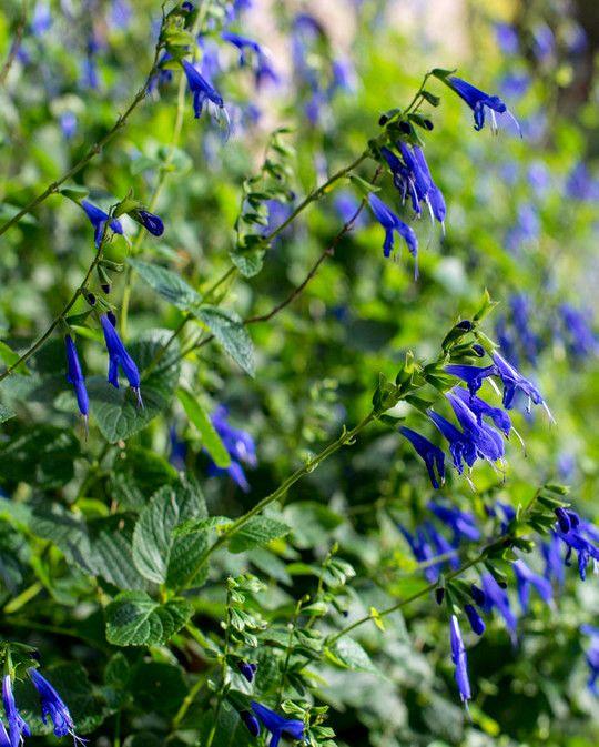 Salvia Blue Enigma