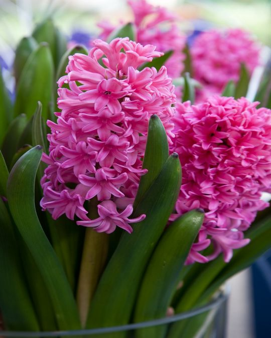 Hyacinth Sweetheart