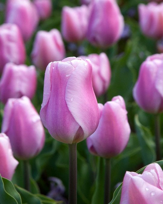 Tulip Synaeda Amor