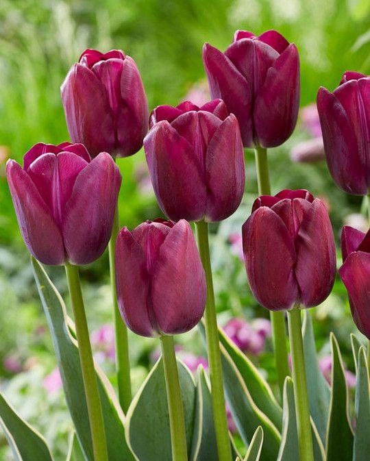 Tulip Caravelle Design