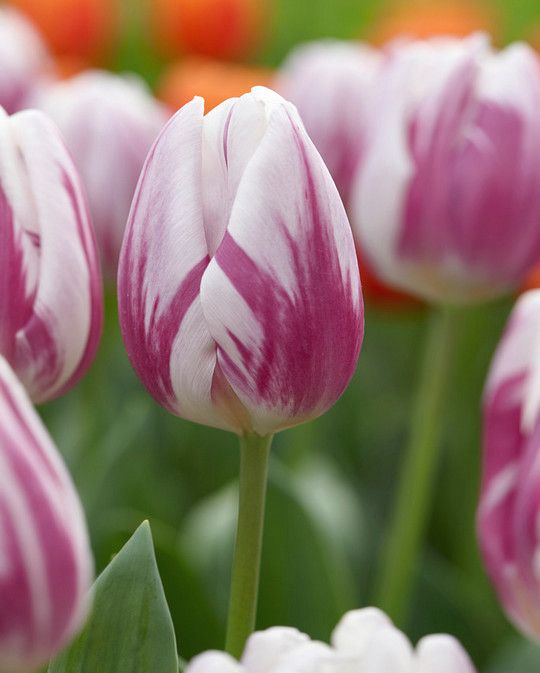 Tulip Striped Flag