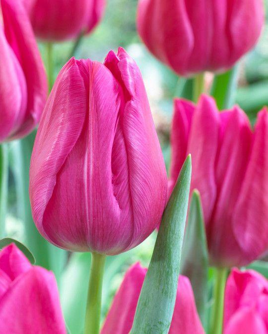 Tulip Sweet Rosy