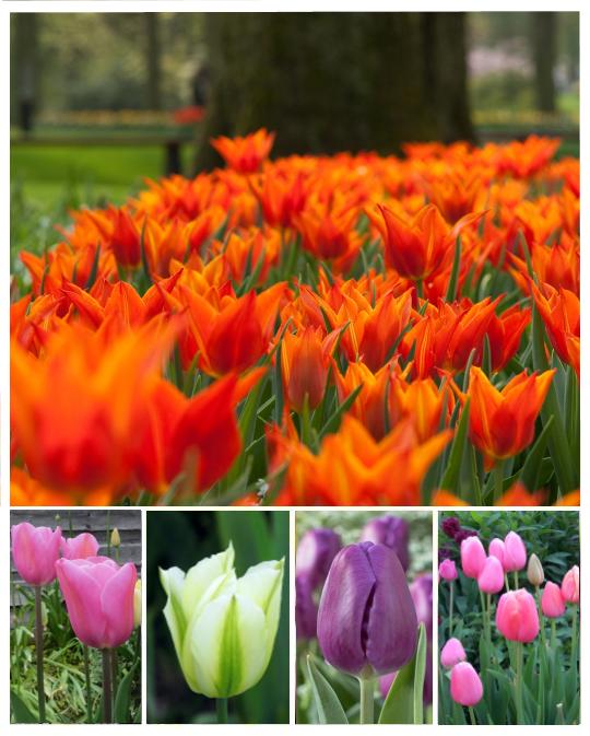 Tulips From Amsterdam Collection