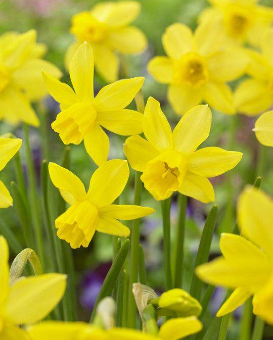 Narcissus Yellow Salboat