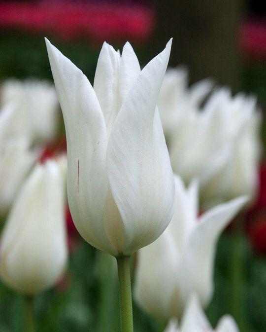 Tulpe White Triumphator