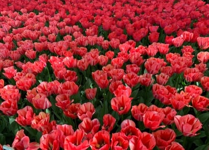 Have you explored our fabulous range of stunning tulips?