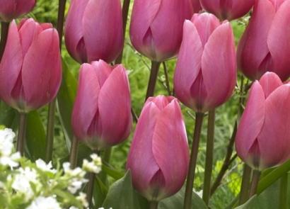 Entdenken Sie unsere Tulpen