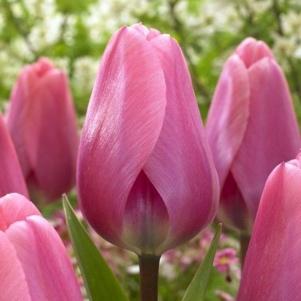 Profiter de vos bulbes de tulipes plus longtemps