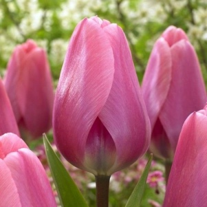 Forcing flowers from bulbs