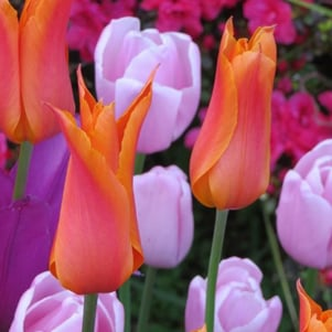 Top 10 perennial tulips
