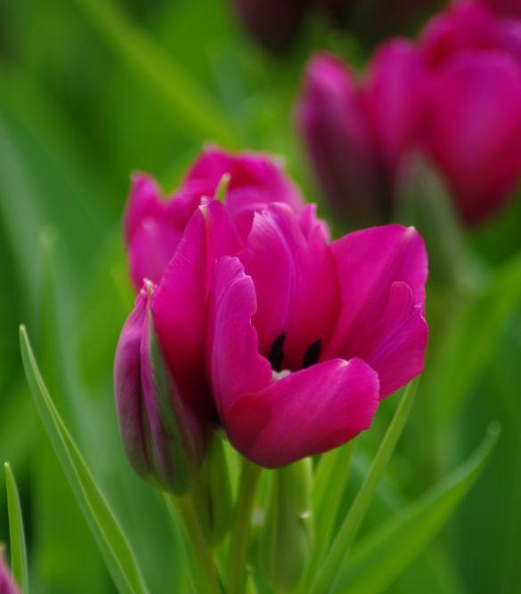 Tulip Night Club