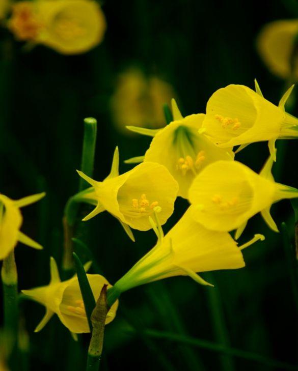 Narcissus Conspicuus
