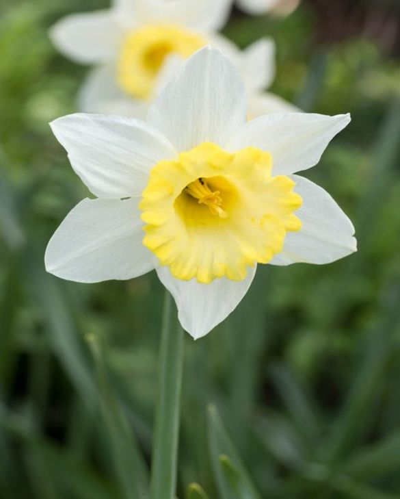 Narcissus Finland