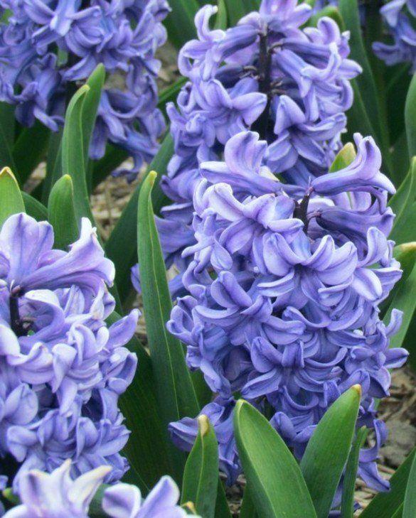 Geprepareerde Hyacint Blue Star