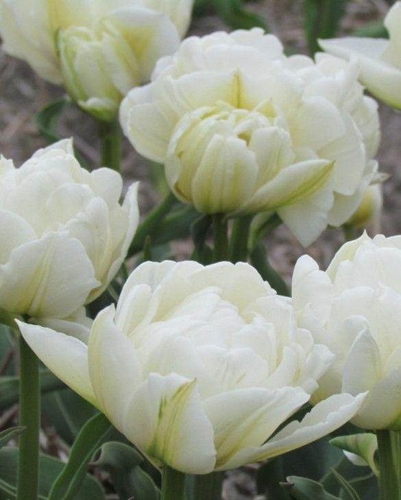 Tulip Global Desire