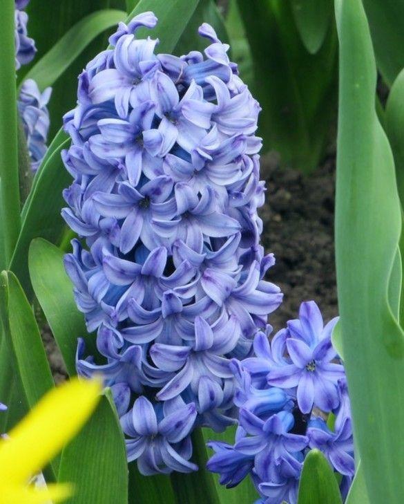Hyacinth Delft Blue