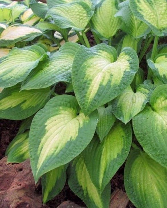 Hosta Paul's Glory