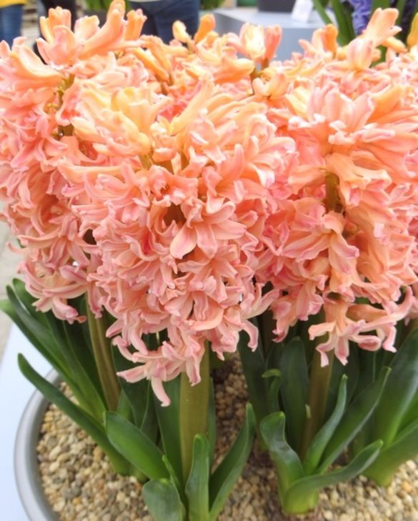 Hyacint Gipsy Queen