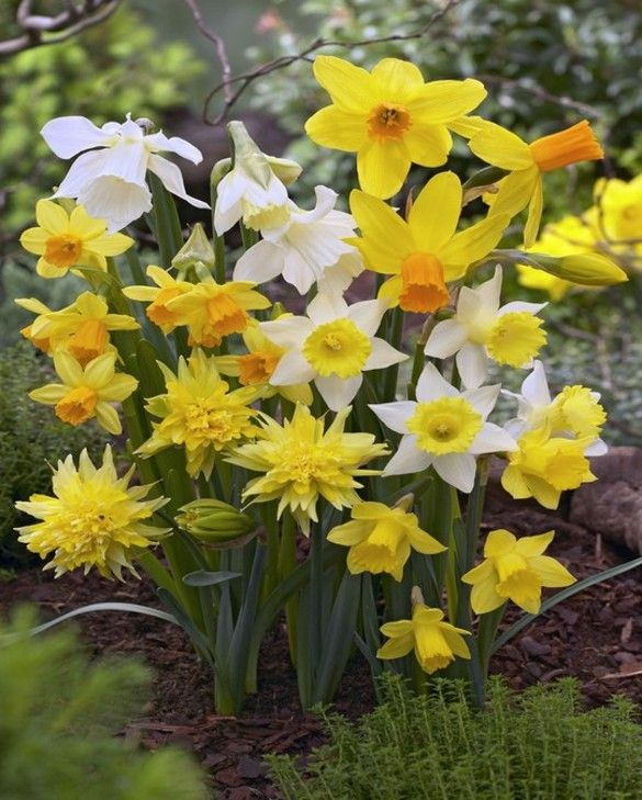 Miniature Daffodil & Narcissus Mixture