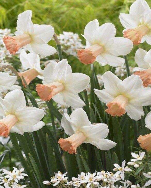 Narcisuss Skype