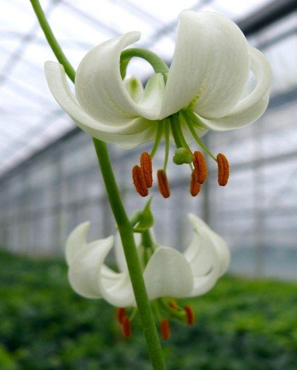 Lilium Martagon White