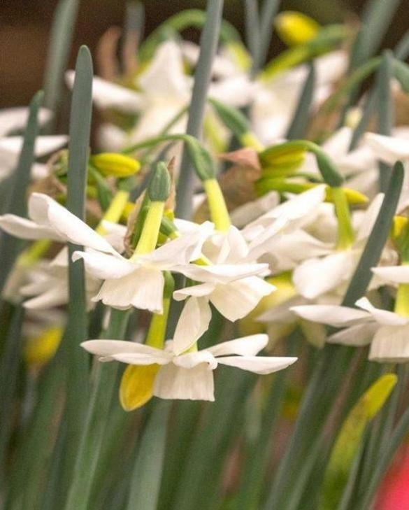 Narcis Starlight Sensation