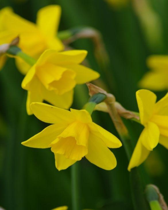 Narcissus Sweetness