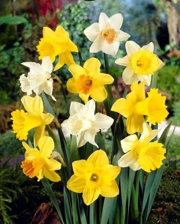 Trumpet Daffodil Mixture