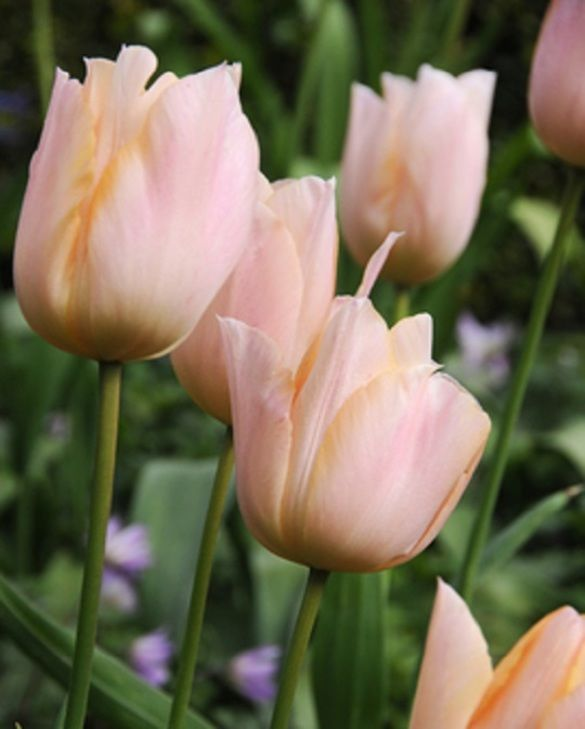 "Pictured <a href=""/apricot-beauty.html"">Tulip Apricot Beauty</a>"
