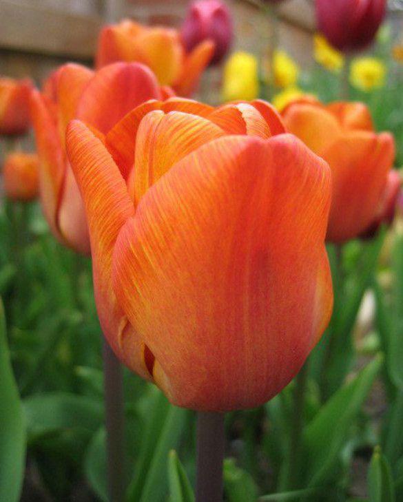 Tulip Cairo
