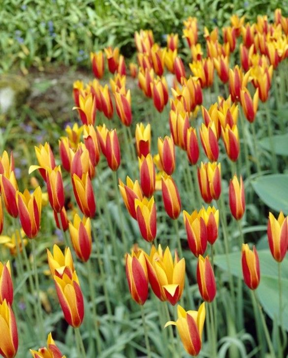 Tulip Clusiana Chrysantha