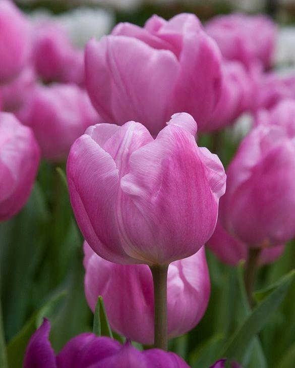 Tulip Aafke