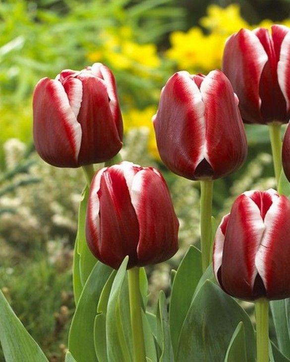 Tulip Armani