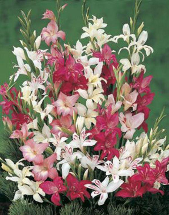 Gladiolus Nanus Mixture