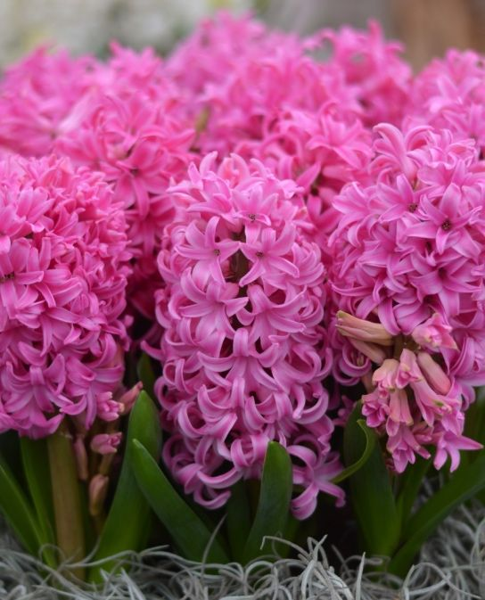 Fragrant indoor planting hyacinth pink pearl