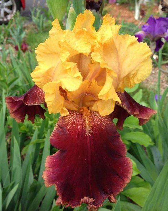 Iris germanica Supreme Sultan